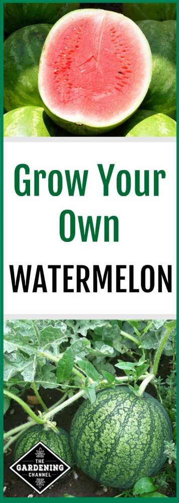 Don't miss these watermelon growing tips, including growing season and watermelon variety selection.