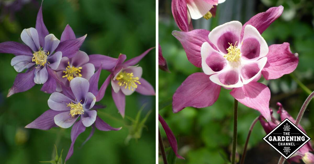 How To Grow Columbine Flower Gardening Channel