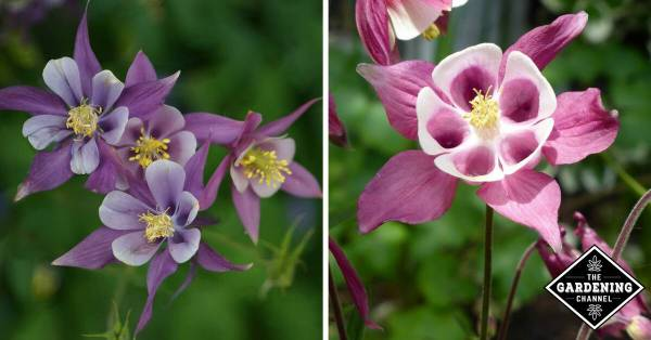 How to Grow Columbine Flowers - Gardening Channel