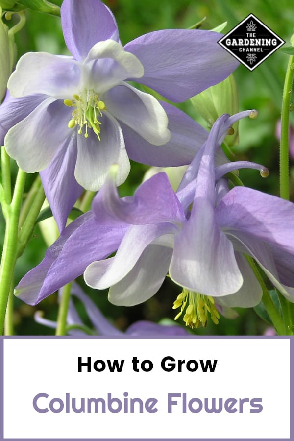 purple columbine flowers with text overlay how to grow columbine flowers