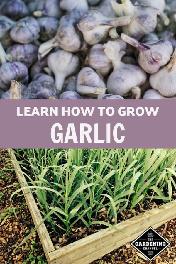 harvested garlic and raised bed of garlic with text overlay learn how to grow garlic