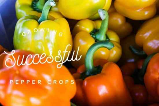 growing peppers in the garden