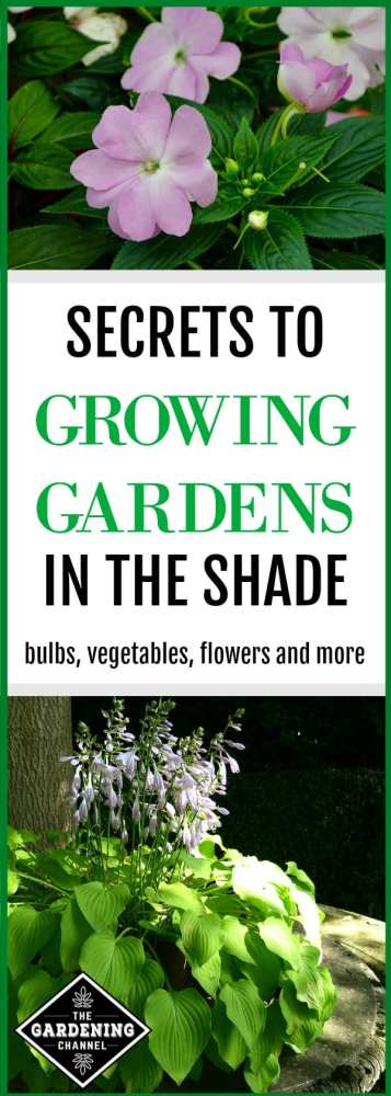 shade garden with impatiens and hosta with text overlay secrets to growing garden in shade bulbs, vegetables and flowers