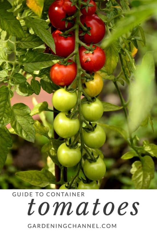 how to grow tomatoes in containers or pots