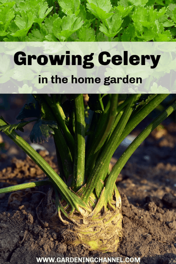 celery growing in container celery growing in garden with text overlay growing celery in the home garden