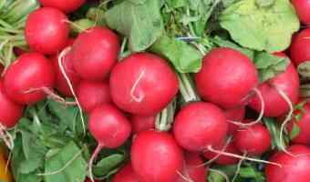 It's Fun to Grow Radishes