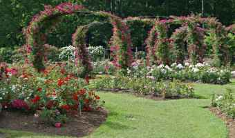 Gardening Tips for Rose Care