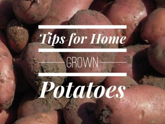 Growing Potatoes in the Home Garden