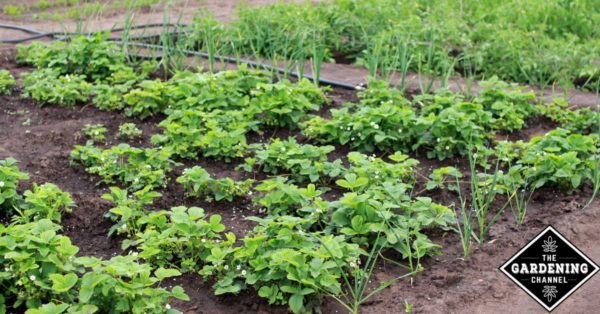 Delightful Vegetable Garden Layout