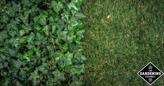 ground cover as mulch
