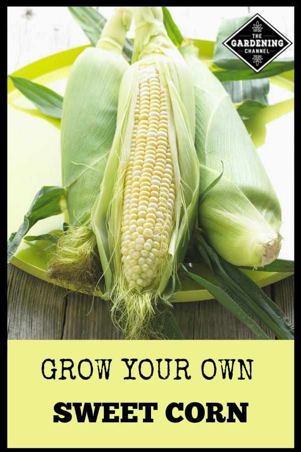 fresh harvested sweet corn with text overlay grow your own sweet corn