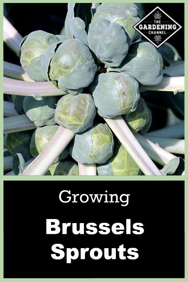 brussels sprouts plant with text overlay growing brussels sprouts