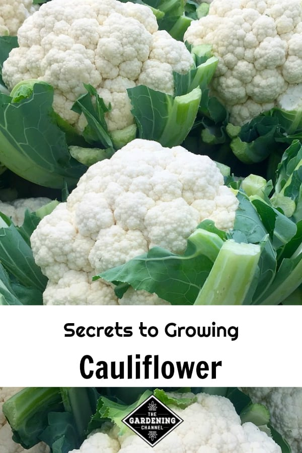 harvested cauliflower with text overlay secrets to growing cauliflower