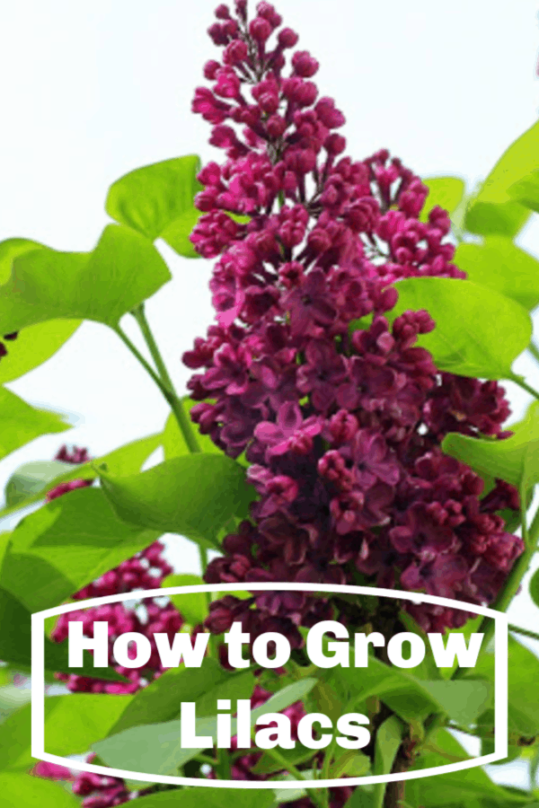 lilacs with text overlay how to grow lilacs