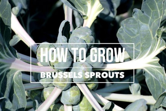 growing brussels sprouts