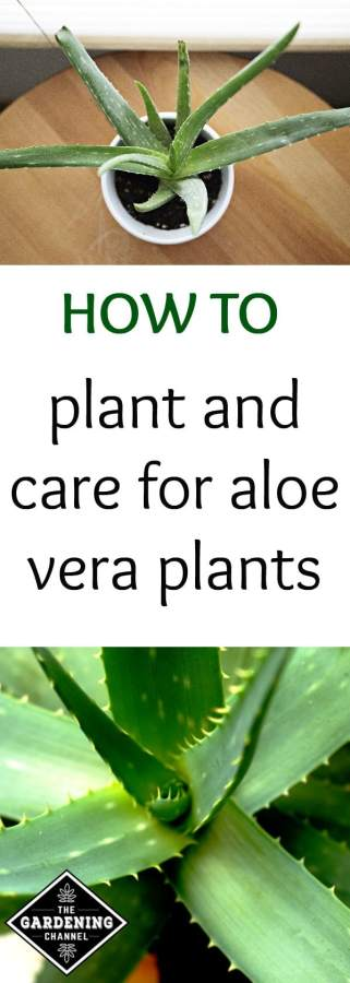 How to plant and care for aloe vera plants