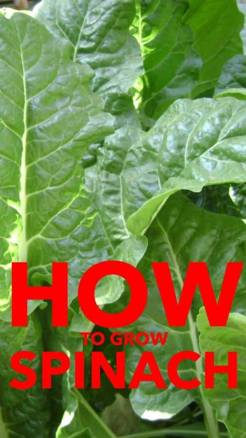 Learn to grow spinach in your vegetable garden