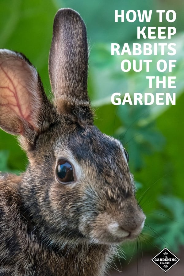 rabbit in the garden with text overlay how to keep rabbits out of the garden