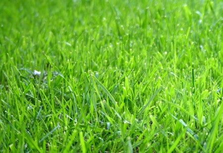 Brewed Coffee As Fertilizer For Lawn