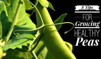 8 tips for growing healthy peas