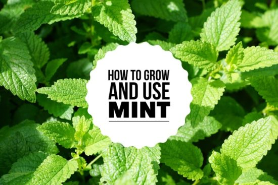 Growing and Using Mint