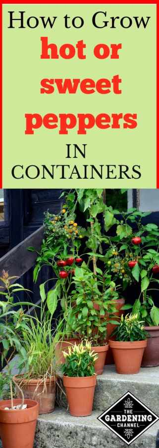 Growing hot or sweet peppers in containers