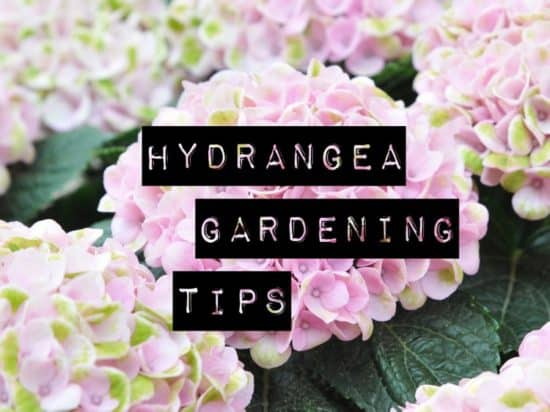 Gardening Tips for Hydrangea Care