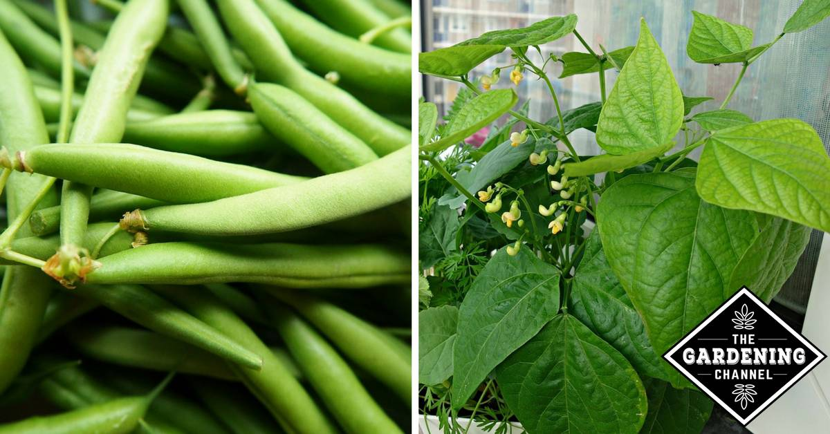 how to grow string beans in containers