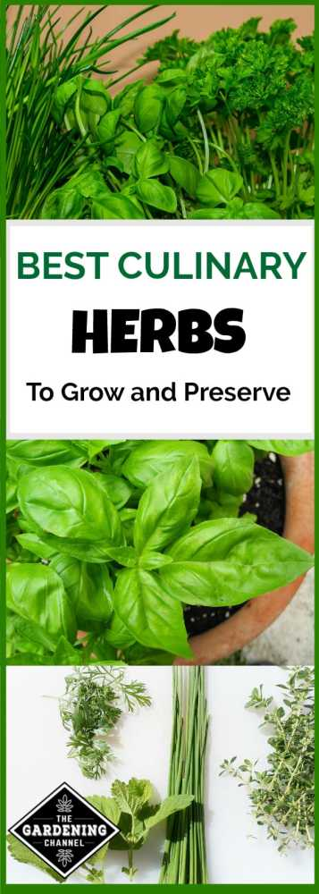 growing and preserving culinary herbs