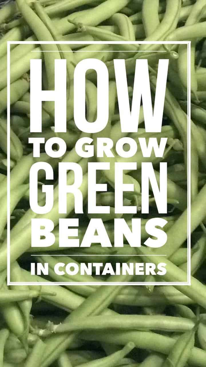 How to Grow Great Green Beans in Containers - Gardening Channel