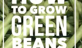 Learn how to grow the best green beans (snap beans) in a container or pot. Great vegetable gardening tips for green bean growing.