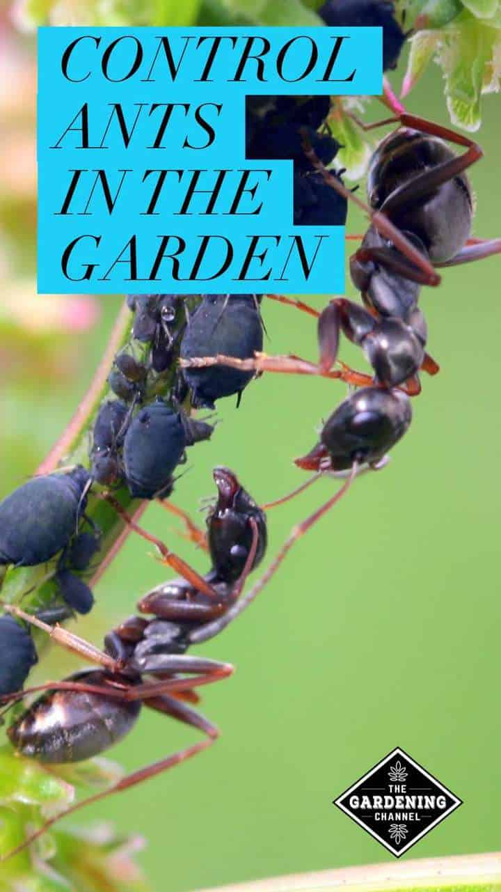Merveilleux How To Control Ants In Your Garden Naturally And Safely   Gardening Channel