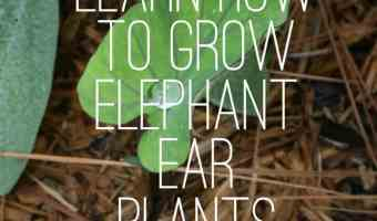 Growing Elephant Ear Plants