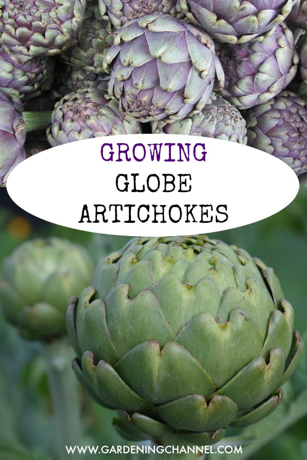how to grow green globe artichokes