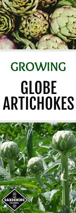 how to grow artichokes in your garden