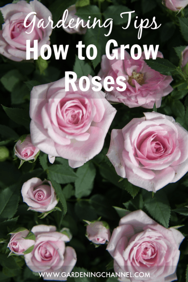 How To Grow Roses Gardening Channel