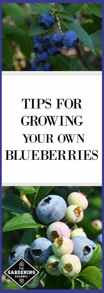 Grow your own blueberries in your yard or garden with this guide to growing blueberries.