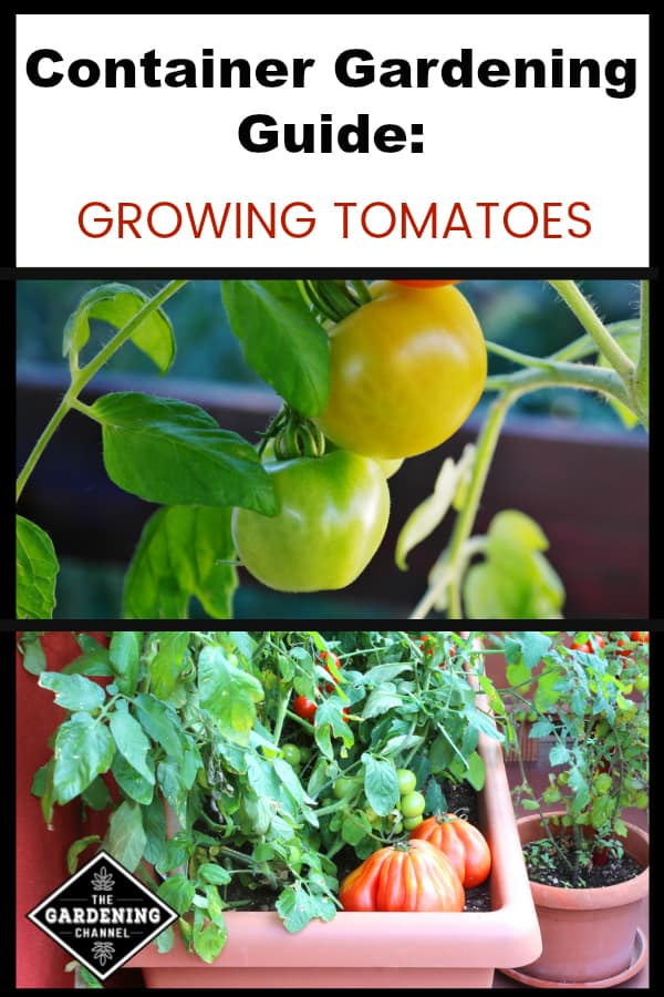 cherry tomatoes in pot and tomatoes growing on patio with text overlay container gardening guide growing tomatoes