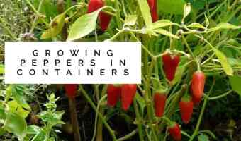 Hot or Sweet, You CAN Grow Peppers in Containers