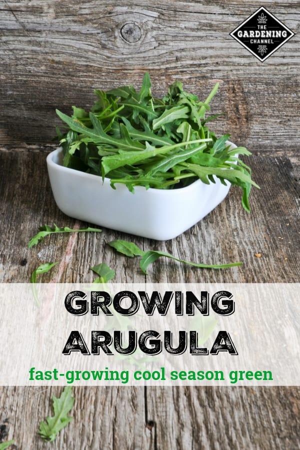 harvested arugula with text overlay growing arugula fast-growing cool season green