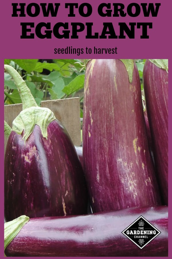 harvested eggplant with text overlay how to grow eggplant from seedlings to harvest