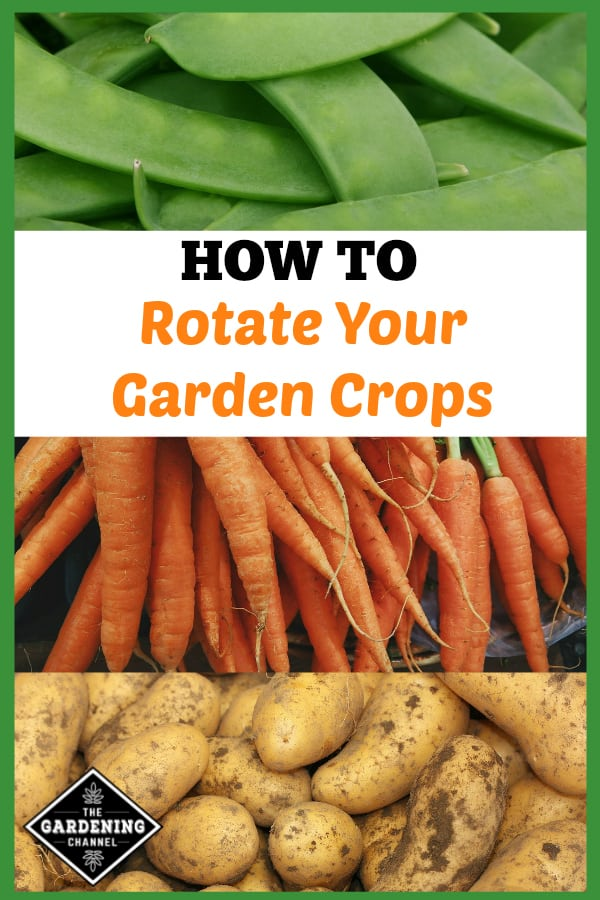 peas carrots and garden potatoes with text overlay how to rotate your garden crops