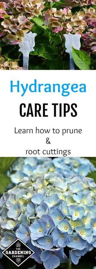 gardening tips for hydrangeas