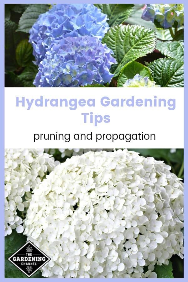 blue and white hydrangeas with text overlay hydrangea gardening tips pruning and propagation