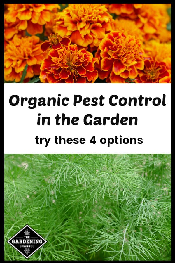 marigolds and dill as organic pest control with text overlay organic pest control in the garden try these four options