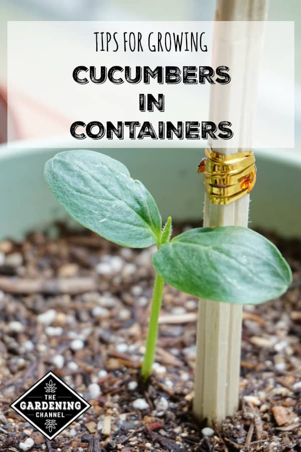 Close up of cucumber seedling in container with text overlay tips for growing cucumbers in containers