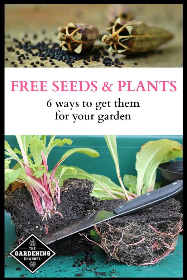 poppy seeds and propagating plants with text overlay free seeds and plants six ways to get them for your garden