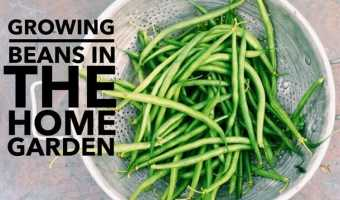 Growing Beans in the Home Garden