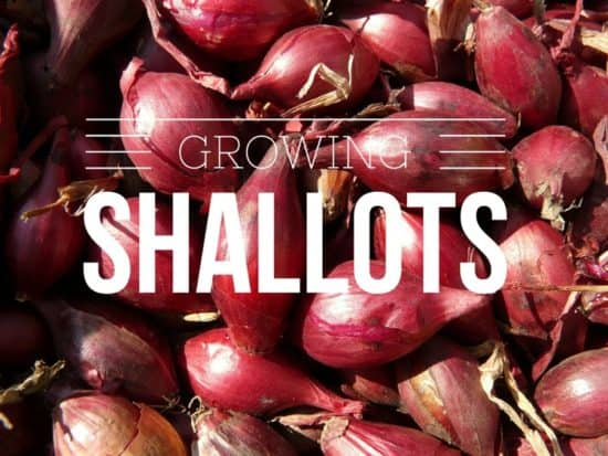 Growing shallots in garden