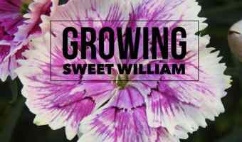 Growing Dianthus